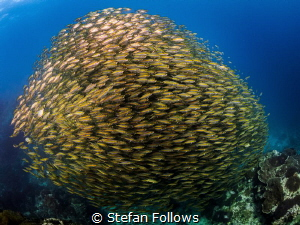 One for the money ... Oxeye Scad - Selar boops. Sail Rock... by Stefan Follows