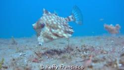 Holy Cowfish by Raffy Francisco