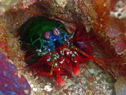 Shiny Mantis Shrimp Eyeballing Me at Puerto Galera, Phili... by Alex Tattersall