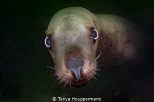 'Well, Hi!' - A Steller sea lion stops by for a quick hel... by Tanya Houppermans
