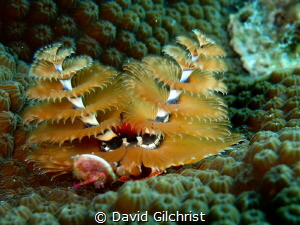 Christmas Tree Worm in the waters of the Looe Key Nationa... by David Gilchrist
