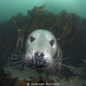 Look into my Eyes - Grey Seal UK/Farne Islands by Spencer Burrows