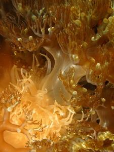 Branching Anemone (Lebrunia danae) by Brad Ryon
