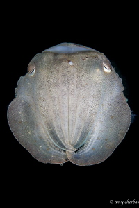 Fact: Cuttlefish have three hearts and green-blue blood. by Tony Cherbas