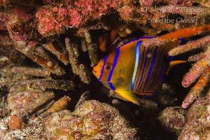 Juvenile Angel fish, Galapagos Ecuador by Alejandro Topete