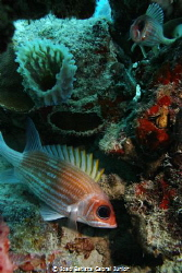 Squirrelfish by Joao Batista Cabral Junior