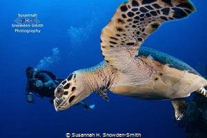 """Swoop!"" - A hawksbill turtle nearly high fives the camer... by Susannah H. Snowden-Smith"