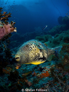 The Puffster ... !  Map Pufferfish - Arothron mappa  ... by Stefan Follows