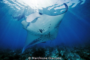 Sorkelling with Manta Nikon D800E , 17-35mm.  Two strobo by Marchione Giacomo