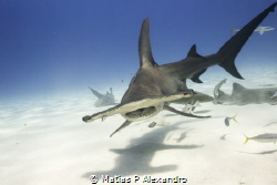 Hammerhead sharks in The Bahamas. Shot this amazing anima... by Matias P Alexandro