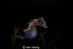 Snoot shot Pontohi by Ken Keong