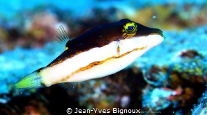 Canthi Gaster/Blacksaddle Toby,Mauritius,22 m by Jean-Yves Bignoux