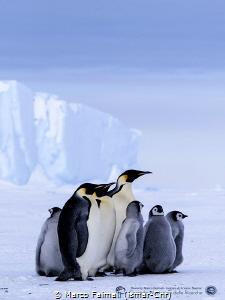 "The ""Emperor family"" on sea-ice (Terranova bay, Ross Se... by Marco Faimali (ismar-Cnr)"