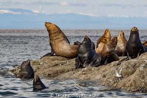 'Sunning Sea Lions' - These Steller sea lions near Vancou... by Tanya Houppermans
