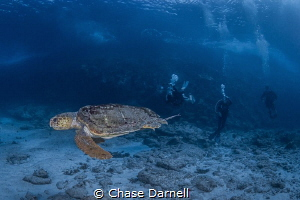 """""""Old Wise Man"""" A Loggerhead Turtle making some friendly ... by Chase Darnell"""