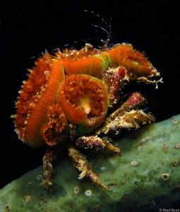 decorator crab by Brad Ryon