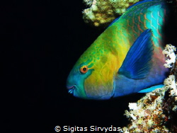 Parrotfish at night by Sigitas Sirvydas