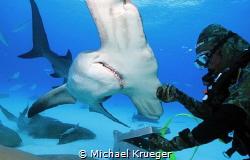 Bimini, Hammerhead Dive, Neil Watson #Hammerhead #Bimini ... by Michael Krueger