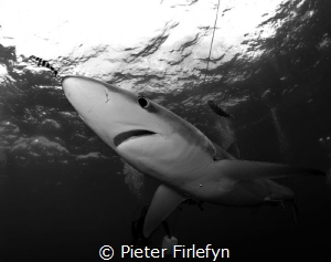 Blue shark by Pieter Firlefyn