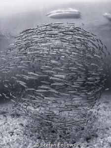 My World, My Rules ...  Chevron Barracuda - Sphyraena q... by Stefan Follows
