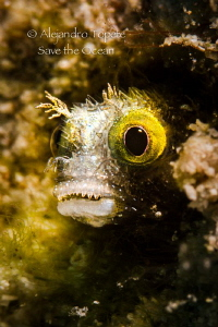 Blenny face, Klein Bonaire by Alejandro Topete