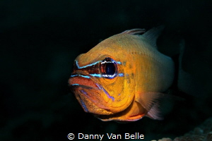 Cardinalfish with eggs by Danny Van Belle