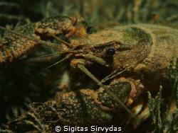 Crayfish by Sigitas Sirvydas
