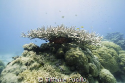 Large Staghorn coral with a variety of fish swimming arou... by Tiffanie Pucillo