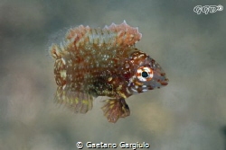 Very small (less than 1 cm) juvenile wrasse hovering over... by Gaetano Gargiulo
