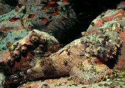 A stonefish in Cocos Island, Costa Rica. by Ofer Ketter