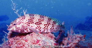 Grouper Fish.Mahebourg south coast Mauritius-Republic of ... by Jean-Yves Bignoux