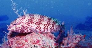 Grouper Fish.Mahebourg south coast Mauritius-Republic of ... by Jean-Yves Bignoux