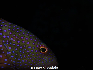 Bluespotted Grouper , Cephalopholis argus Olympus OMD EM... by Marcel Waldis