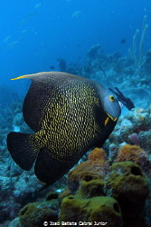 French Angelfish - BVI by Joao Batista Cabral Junior
