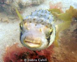 Porcupine Fish Pipeline Pt  Stevens by Debra Cahill