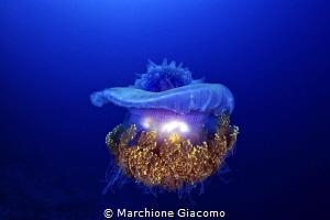 UFO. Jelly fish . Maldive Bandhos Island Nikon D800E, 6... by Marchione Giacomo