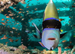 Emperor Angelfish mesmerized by my dome port by Tony Cherbas