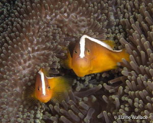 Curiosity!  2 eastern skunk anemone fish. by Elaine Wallace