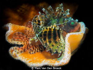 """orange house"" scorpion fish by Marc Van Den Broeck"