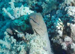 Giant moray taken at Shark reef, Ras Mohamed Park with Ol... by Nikki Van Veelen