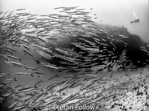 Boom! Chevron Barracuda - Sphyraena qenie. Sail Rock, Tha... by Stefan Follows