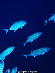 School of trevally by Sigitas Sirvydas