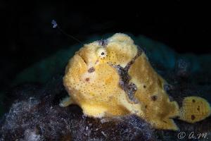 Small frogfish fishing for dinner by Aleksandr Marinicev