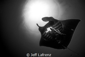 Grace and beauty in motion.  A large black Manta ray. by Jeff Lafrenz