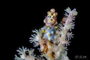 Pigmy Seahorse. Tulamben, Bali by Aleksandr Marinicev
