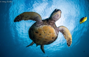 Honu + 1 in Hawaii by Tony Cherbas