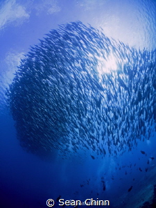 Schooling jackfish block out the sun by Sean Chinn