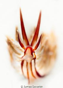 Dragon / Eubranchus by James Deverich