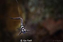 Baby Drumfish by Aja Radl
