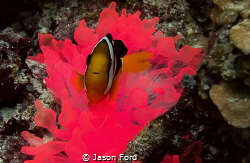 Glowing anemone and clownfish. Taken in the Maldives at a... by Jason Ford